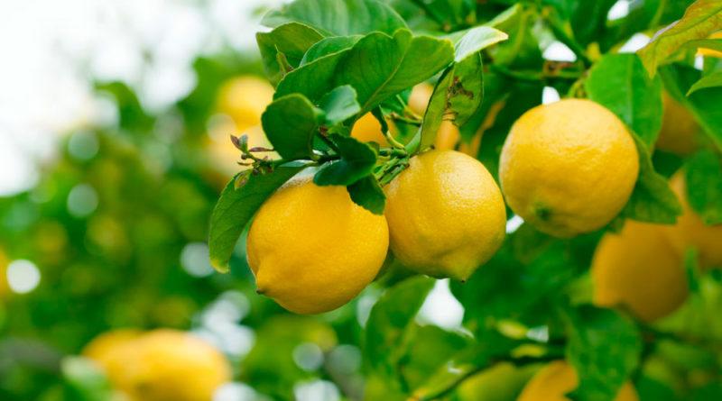 ¿Cuanta agua necesita un limonero?