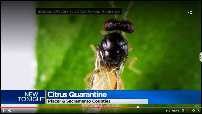 Cultivos de Placer County (USA) amenazados por el Psílido asiático de los cítricos