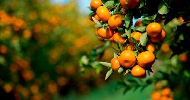Perú aumentó sus exportaciones de mandarina