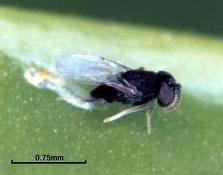 Controlador biológico: Ageniaspis citricola