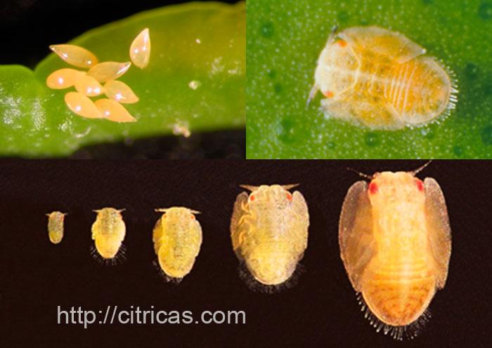 ciclo de vida del psilido asiatico de los citricos
