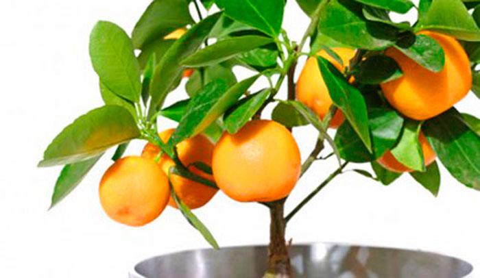Cítricos enanos, plantas cítricas para interiores