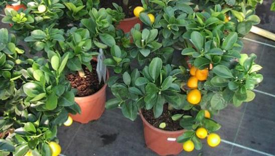 citrico enano en matero y agua