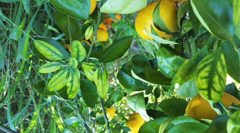 Nutrición y Dragón Amarillo de los Cítricos