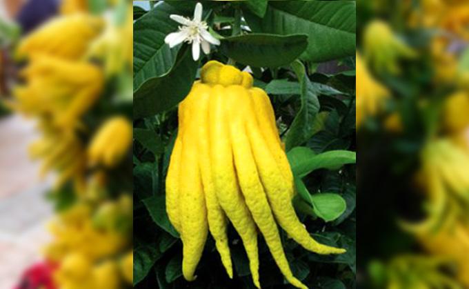 Citrus medica, manos de Buda
