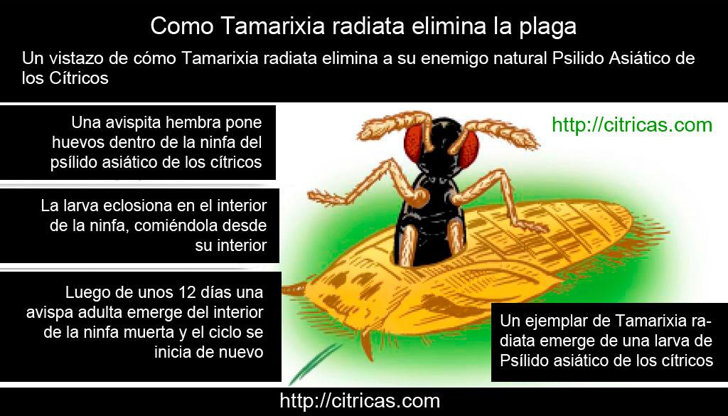 Como tamarixia radiata elimina la plaga