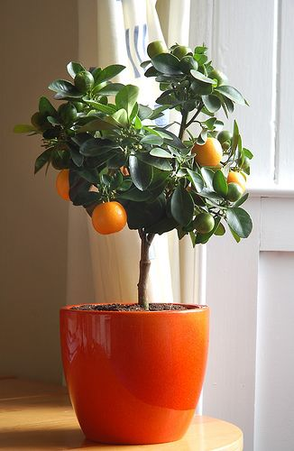 cítricos enanos: árboles cítricos para interiores