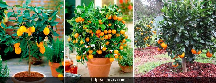 dwarf-citrus