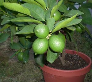 C tricos enanos rboles c tricos para interiores for Cultivo de arboles frutales en macetas