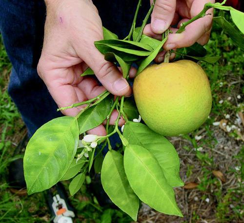 Moteado amarillo asimétrico en las joas y enverdecimiento en fruta, síntomas del Huanglongbing (dragón de los cítricos).