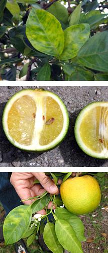 imagenes de la enfermedad HLB Huanglongbing de los citricos