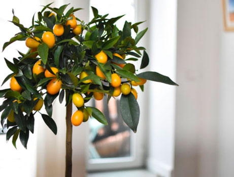 Kumquats en matero cuidados básicos