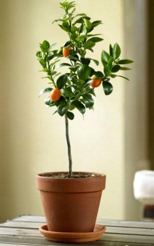 Árboles cítricos pequeños, plantas cítricas para interiores