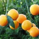 Kumquat marumi