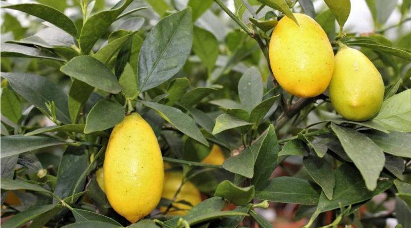 Limequat. Citrus aurantifolia x Fortunella japonica